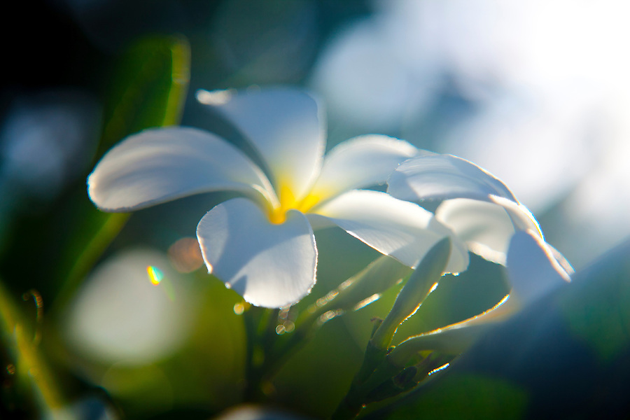 Plumeria flowers in the early morning sunshine.