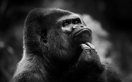 maimuta ganditoare prostia nu doare